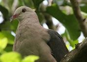 pinkpigeon